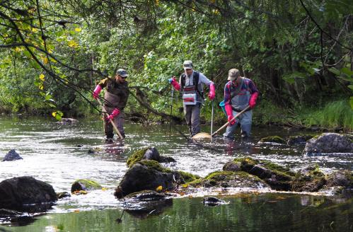 Kolme miestä kalastaa matalassa koskessa veden alla olevilla sähkökalastusvavoilla.