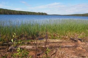 Osittain hiekkaan hautautuneita lahonneita puita järven rannassa.