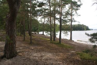 Mäntyä kasvava järvenranta.