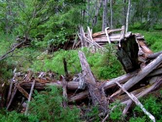 Lahonneita puita aitamaisessa muodostelmassa metsässä.