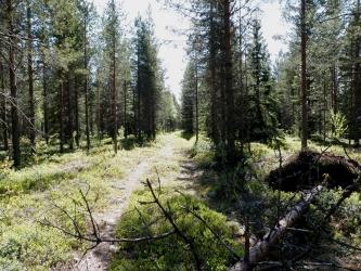 Kaksiurainen kärrytie metsässä.