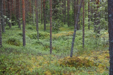 Umpeen kasvanut painanne metsämaalla.