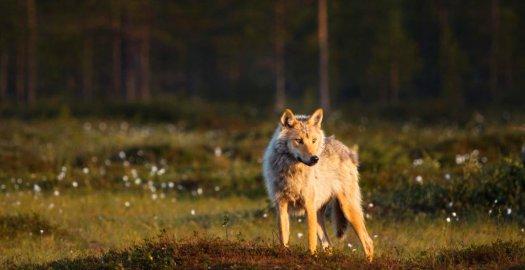 Facebook: Suden aiheuttaman koiravahingon riski suurimmillaan - Metsästäjälehti