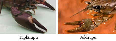 Vasemmalla kuva täpläravun saksista ja oikealla kuva jokiravun saksista.