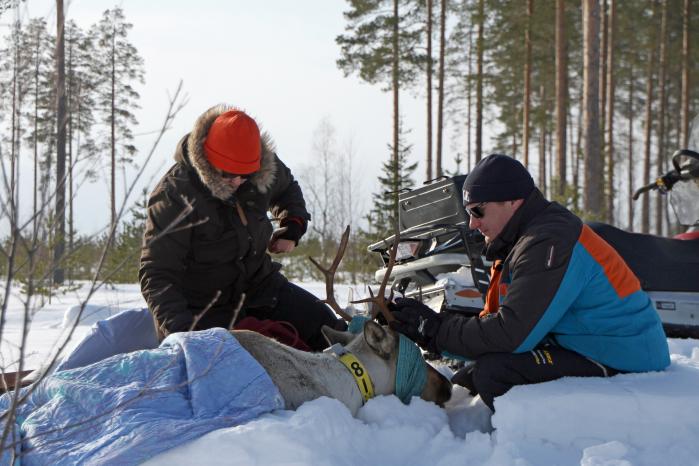 Kaksi miestä on kyykistyneenä metsäpeuran viereen lumihangessa. Metsäpeura on peitelty ja sen silmät on peitetty liinalla.